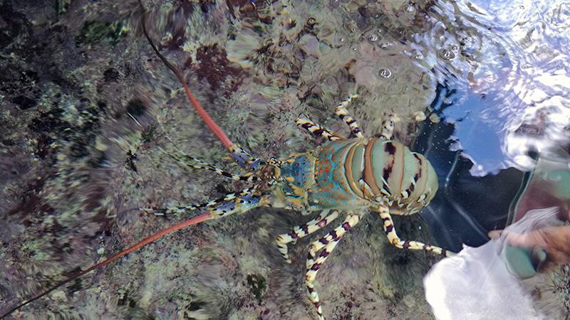Lobster Rettung